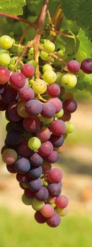 Grappes de raisins non mures